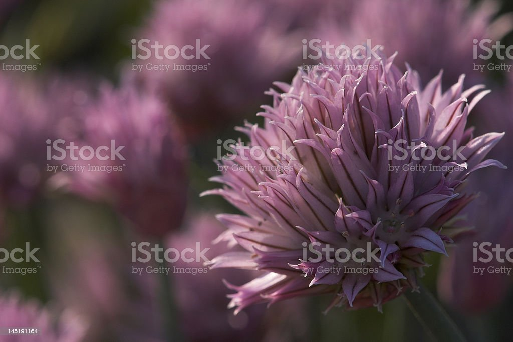 Chive Blossom stock photo