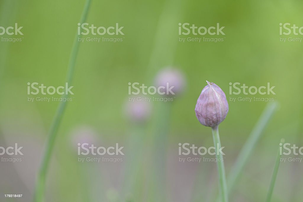 Chive bud royalty-free stock photo