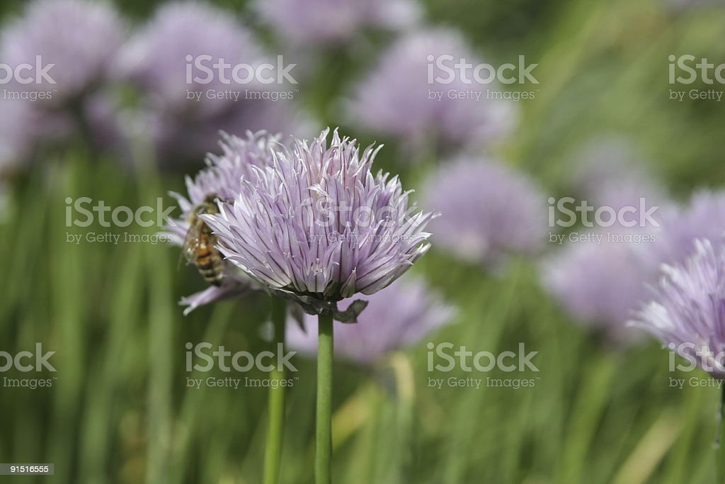 Chive flower and a bee stock photo