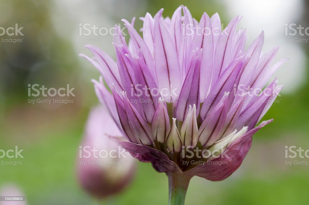 Chive Flower Close-up stock photo