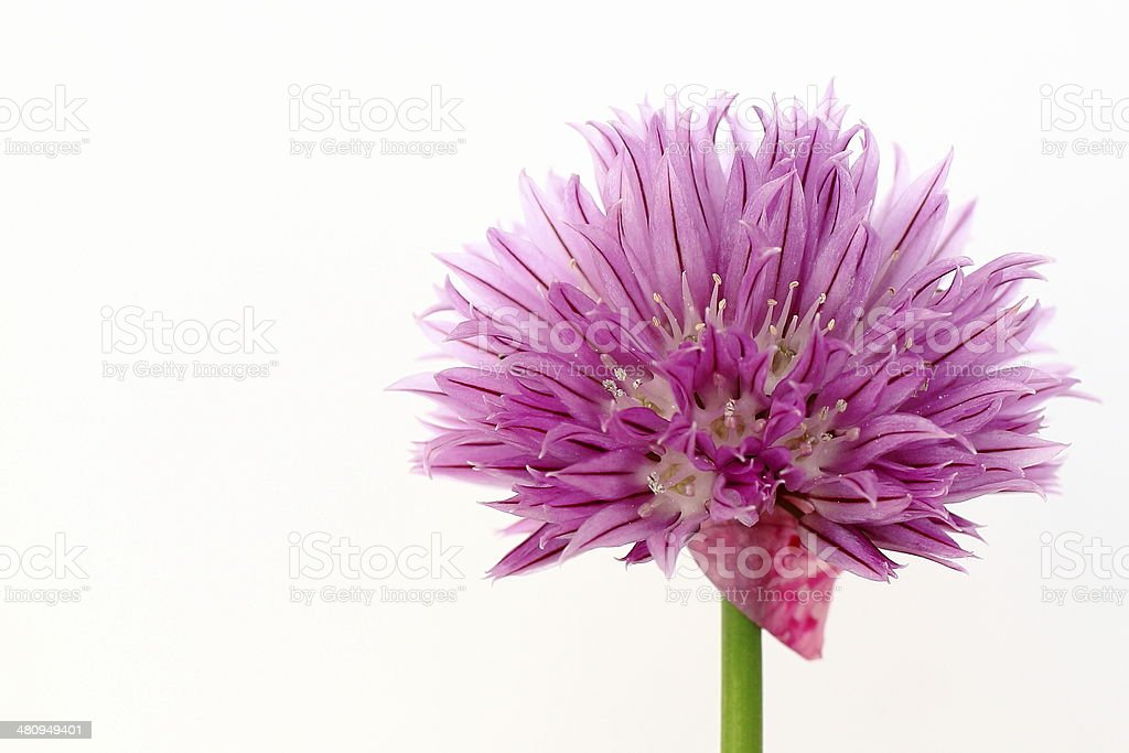 Chive flower macro stock photo
