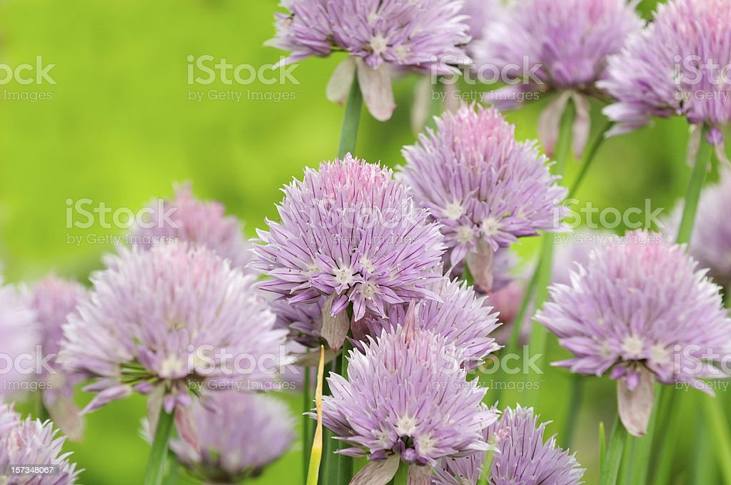 Chive Flowers in Vegetable Garden royalty-free stock photo