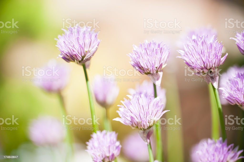 Chive Group Portrait royalty-free stock photo