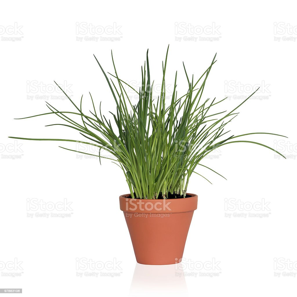 Chive Herb Plant royalty-free stock photo