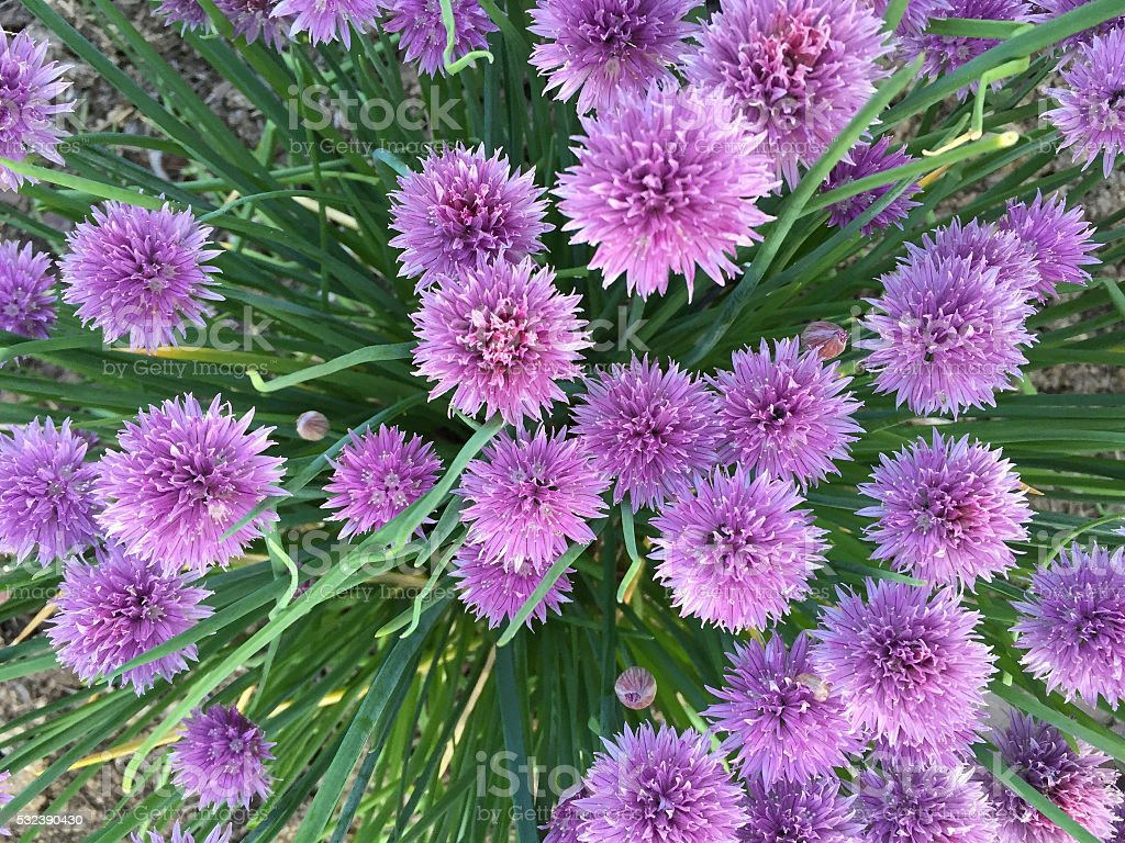 Chive Plant with Flowers stock photo