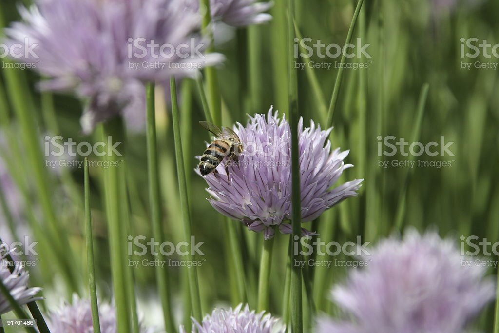 chives and a bee stock photo