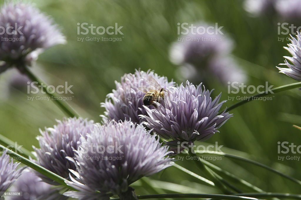 Chives and bee stock photo