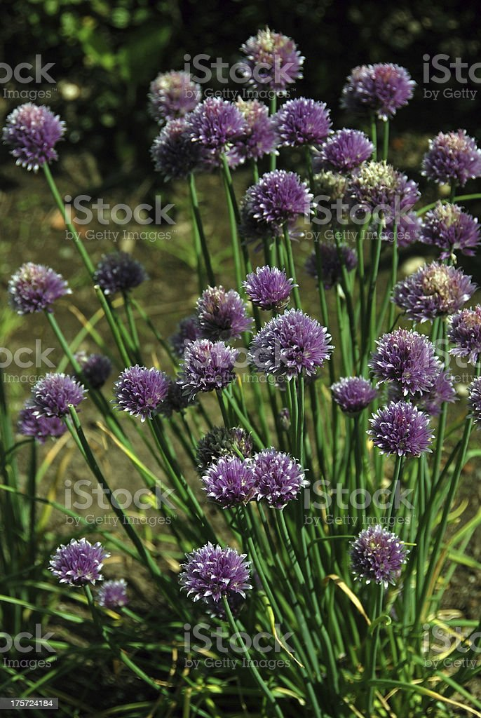 Chives flowering royalty-free stock photo