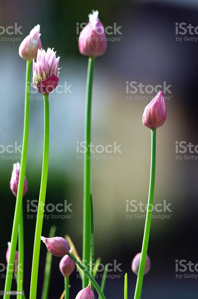 Chives flowers - Allium schoenoprasum royalty-free stock photo