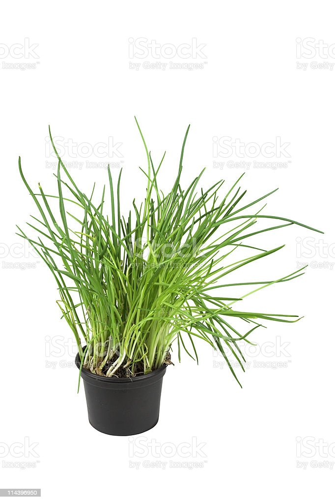 Chives Growing In A Pot royalty-free stock photo