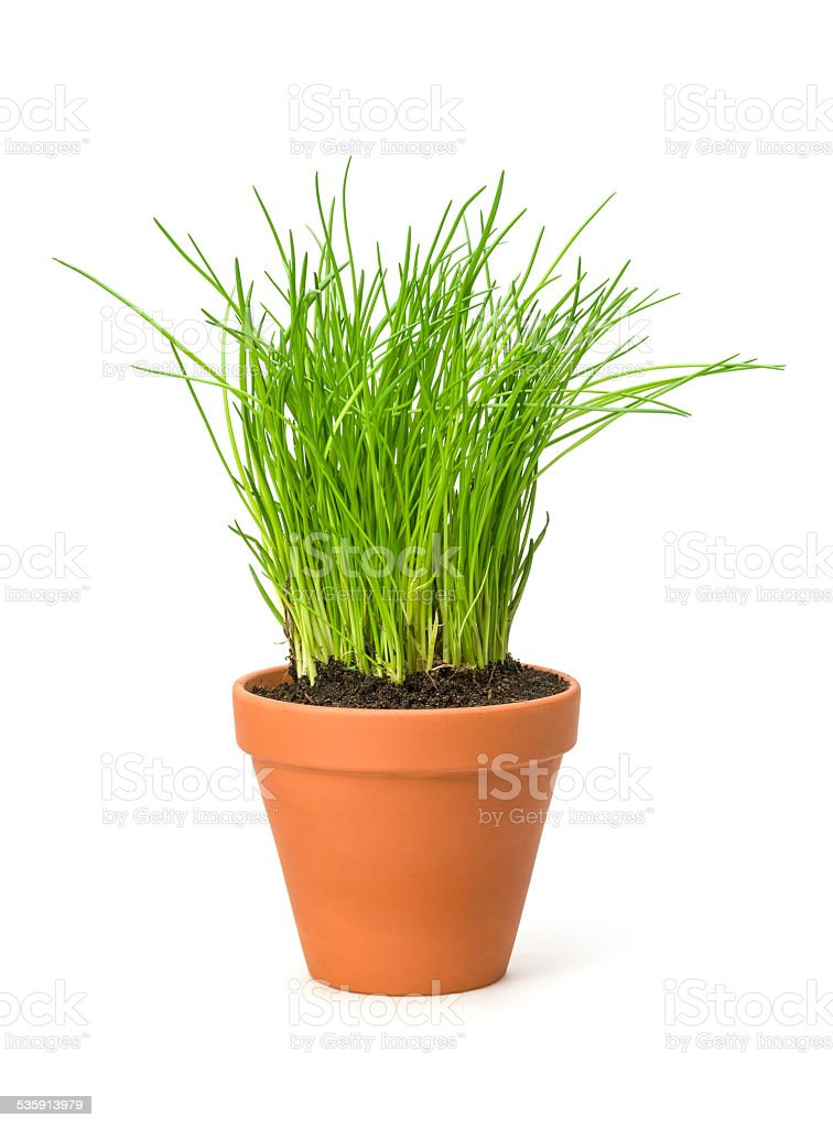 Chives in a clay pot stock photo