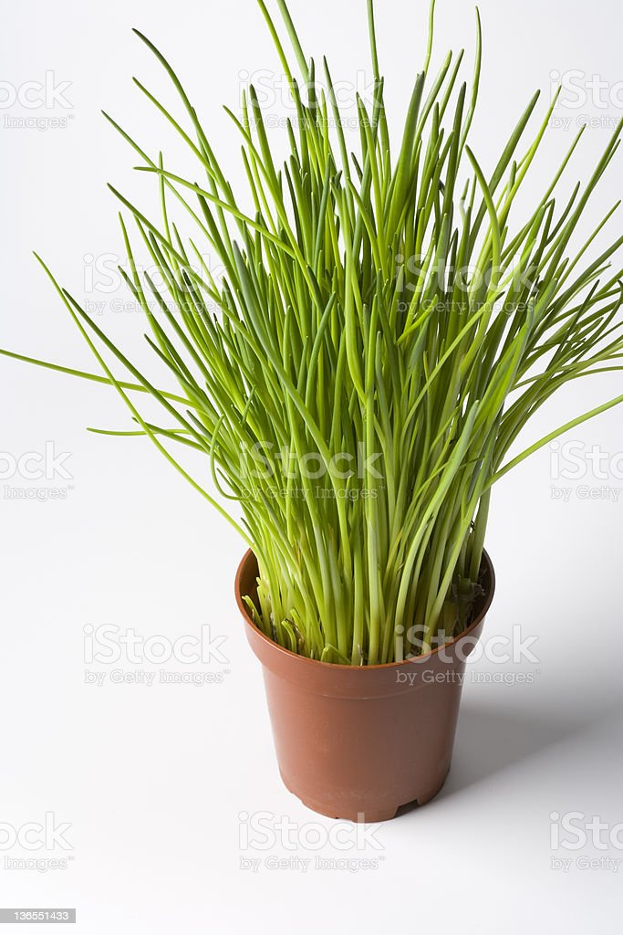 Chives in a pot royalty-free stock photo