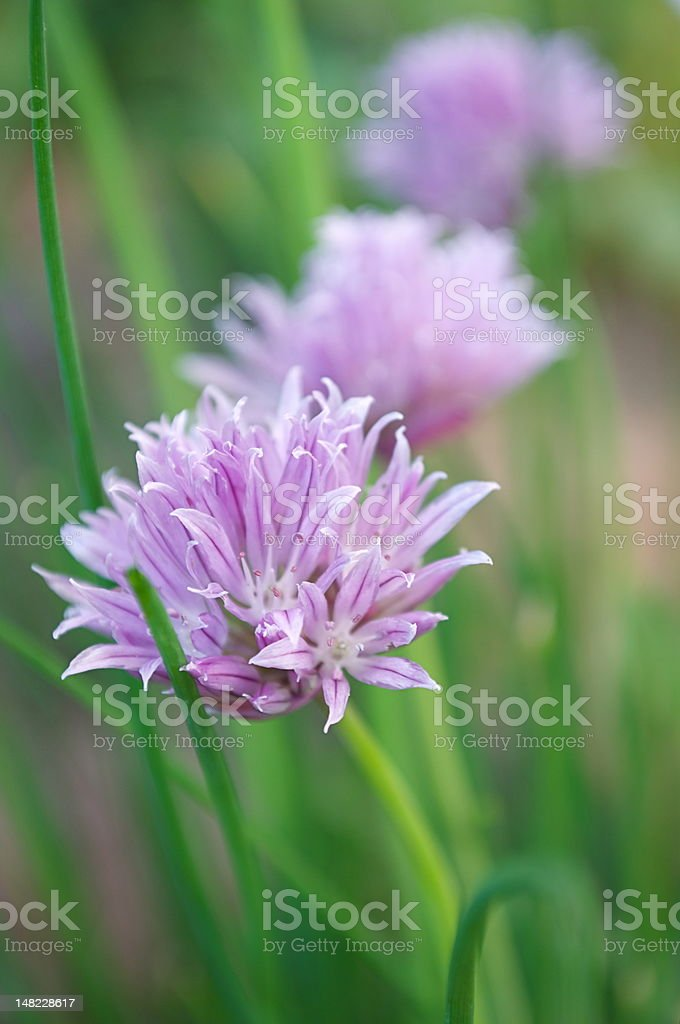 Chives in bloom royalty-free stock photo