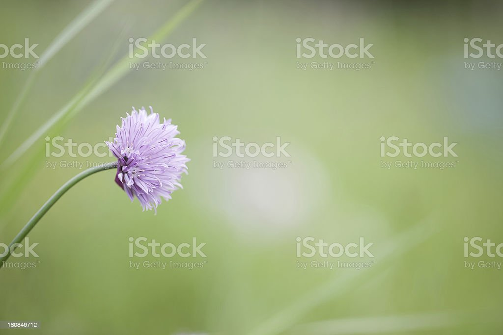 Chives in flower royalty-free stock photo