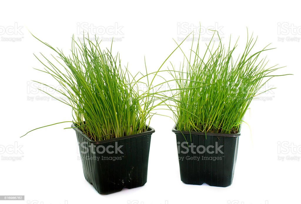 chives in pot stock photo