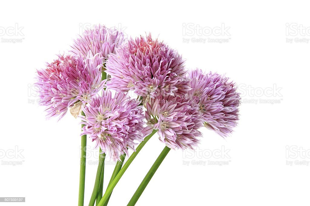 Chives (Allium schoenoprasum) stock photo