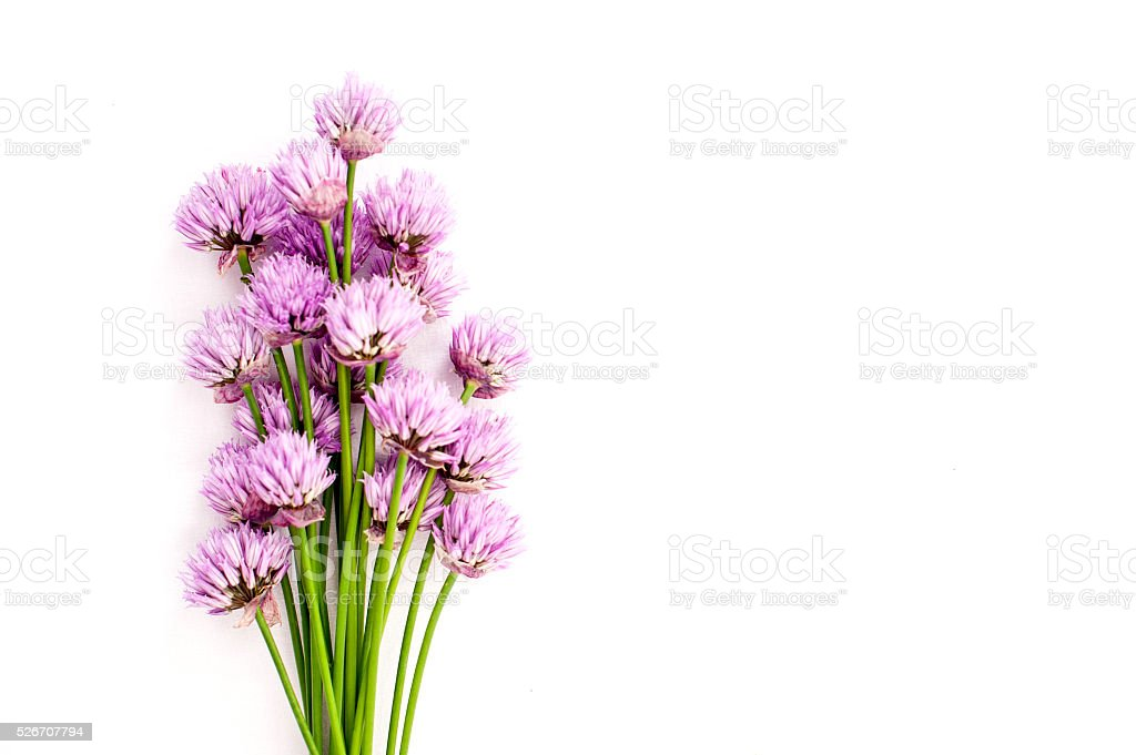 Chives pink flowers on white background stock photo