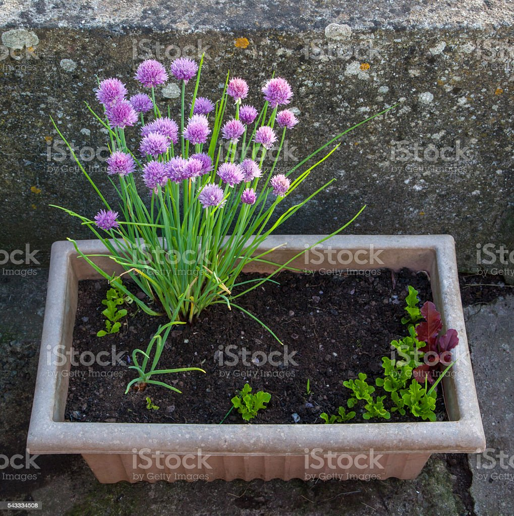 Chives, purple flowers, ideas for brightening old containers. stock photo