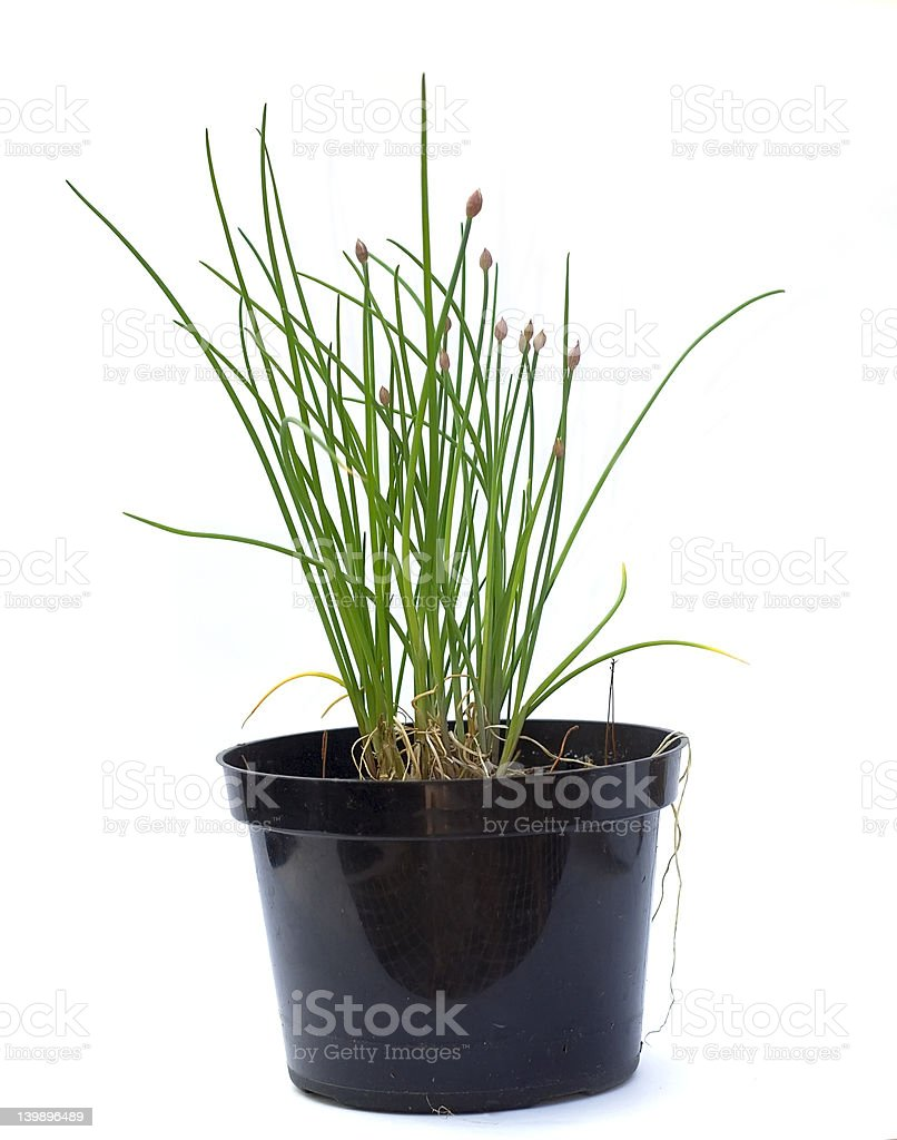 Chives with Buds royalty-free stock photo