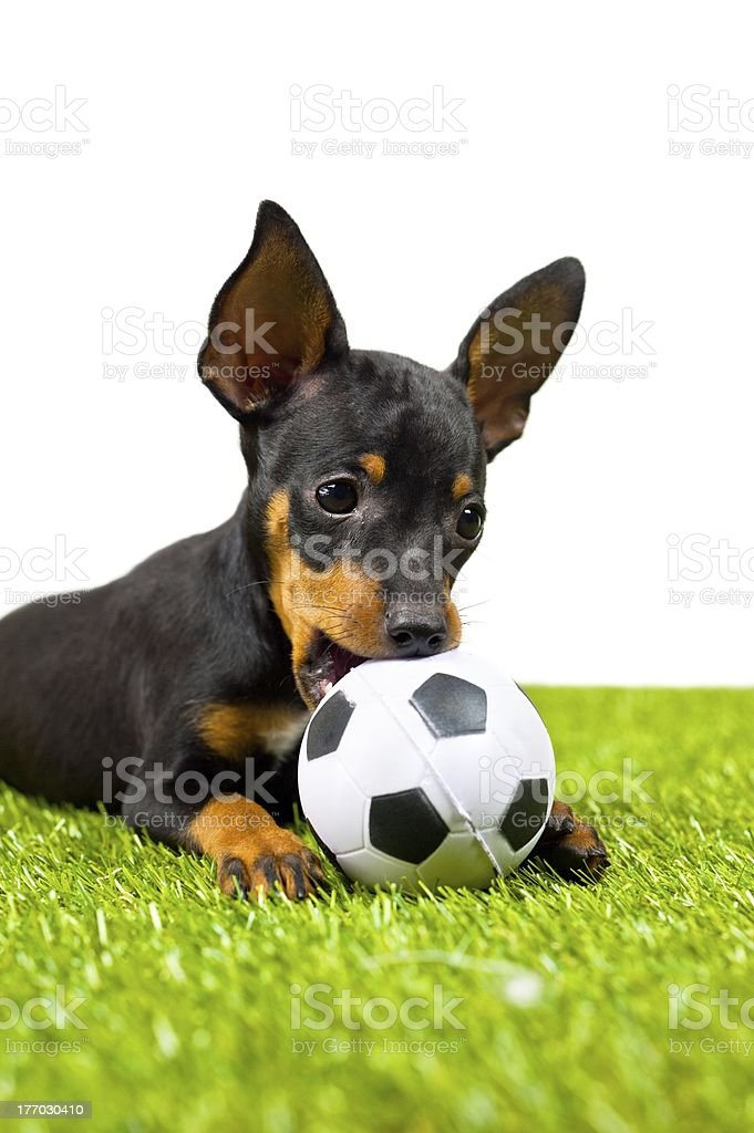 Chiwawa dog royalty-free stock photo