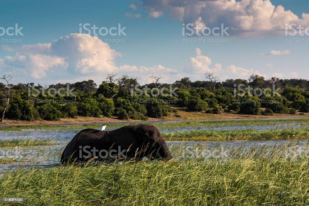 Chobe Elephant stock photo