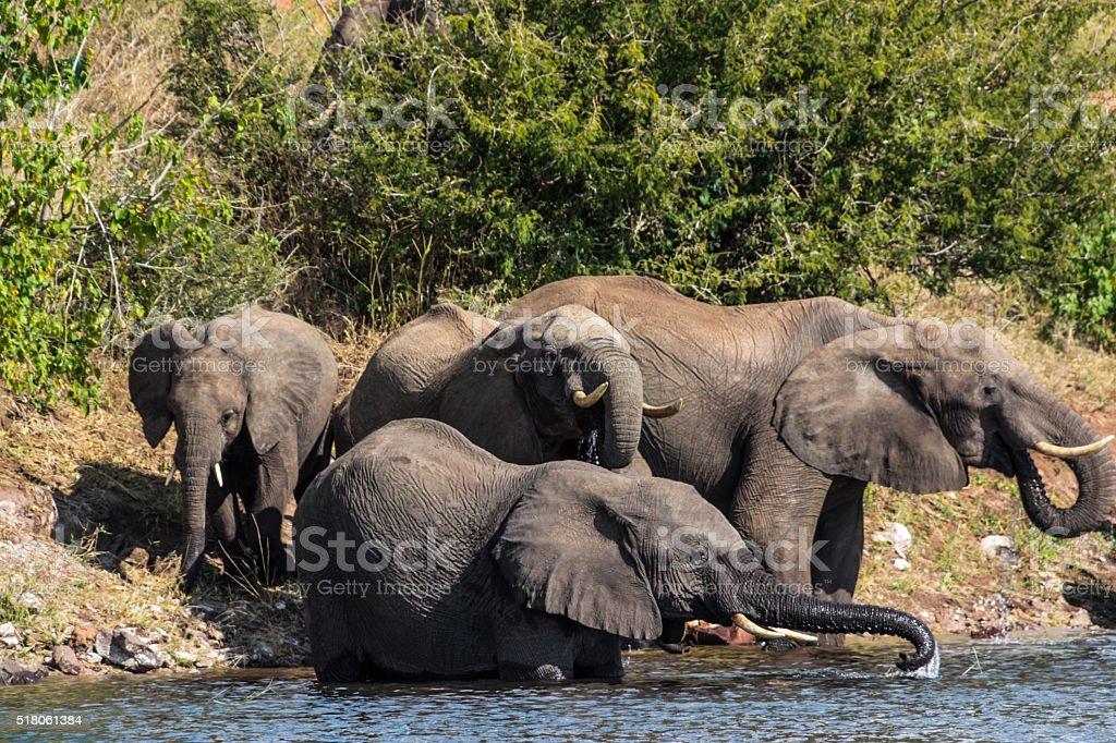 Chobe Elephants stock photo