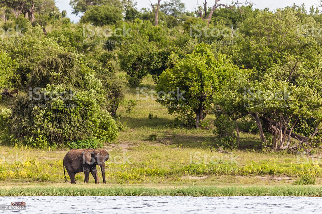 Chobe riverbank; African Elephant, Hippopotamus stock photo