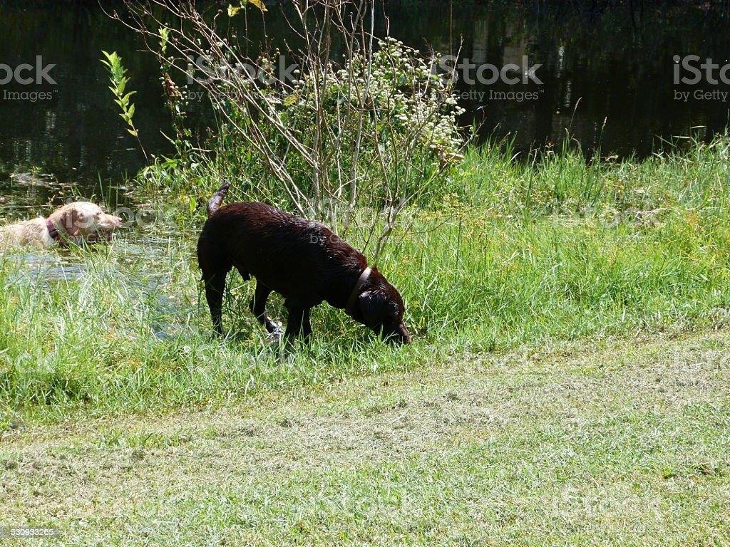 Chocolate and Yellow Labrador Retrievers stock photo
