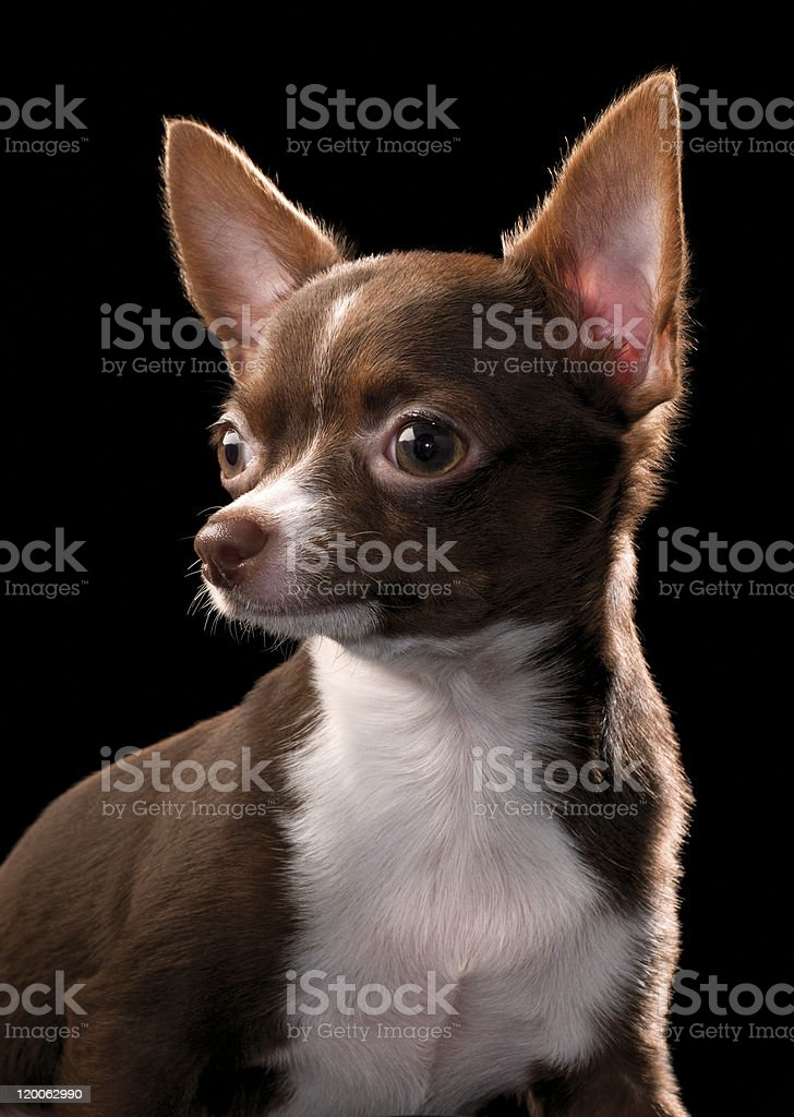 Chocolate brown Chihuahua with white chest  portrait royalty-free stock photo