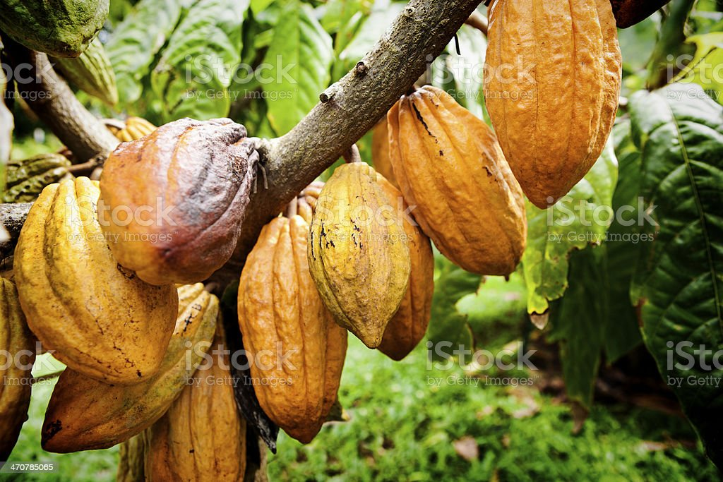 Chocolate Cacao Fruit Tree in Cultivated Farm stock photo