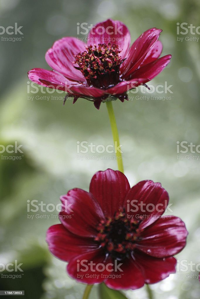 Chocolate Cosmos stock photo