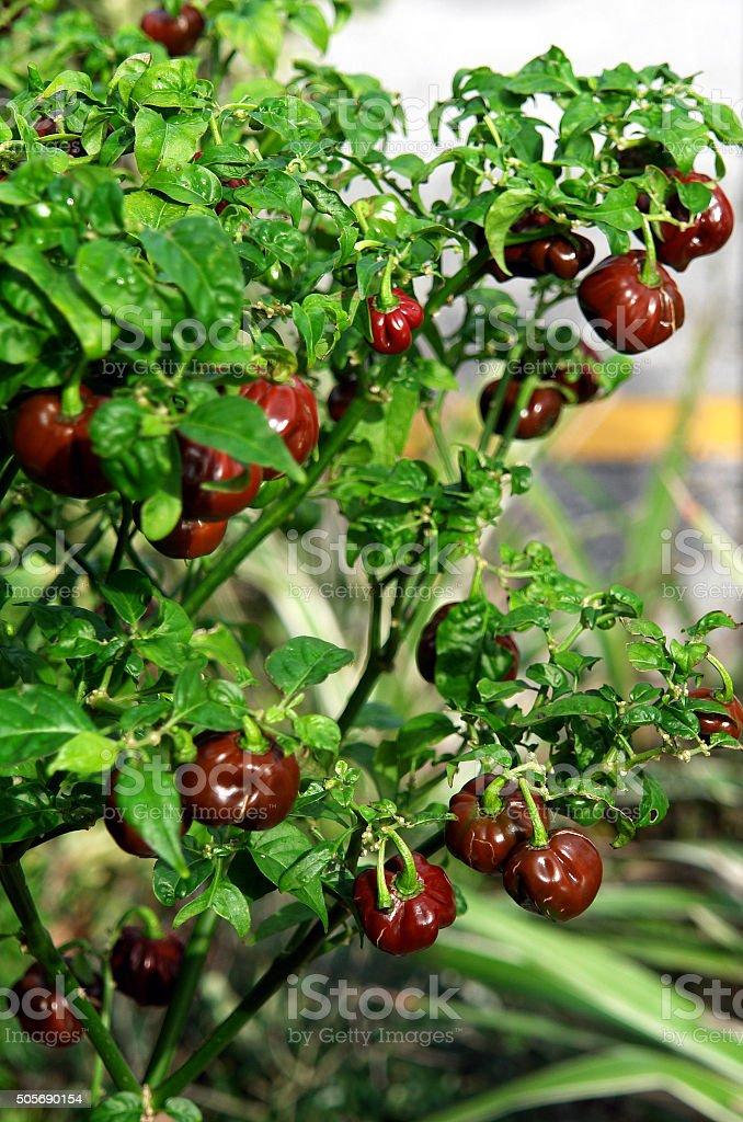 Chocolate Habanero Chili Pepper Plant stock photo