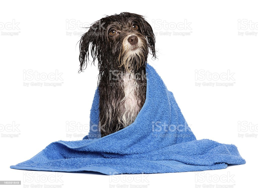 Chocolate Havanese puppy dog soaking wet with blue towel stock photo