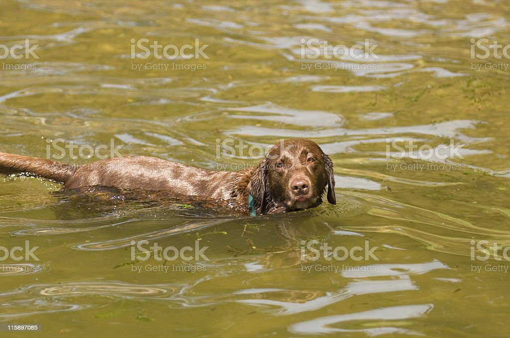 Chocolate Lab in Water royalty-free stock photo