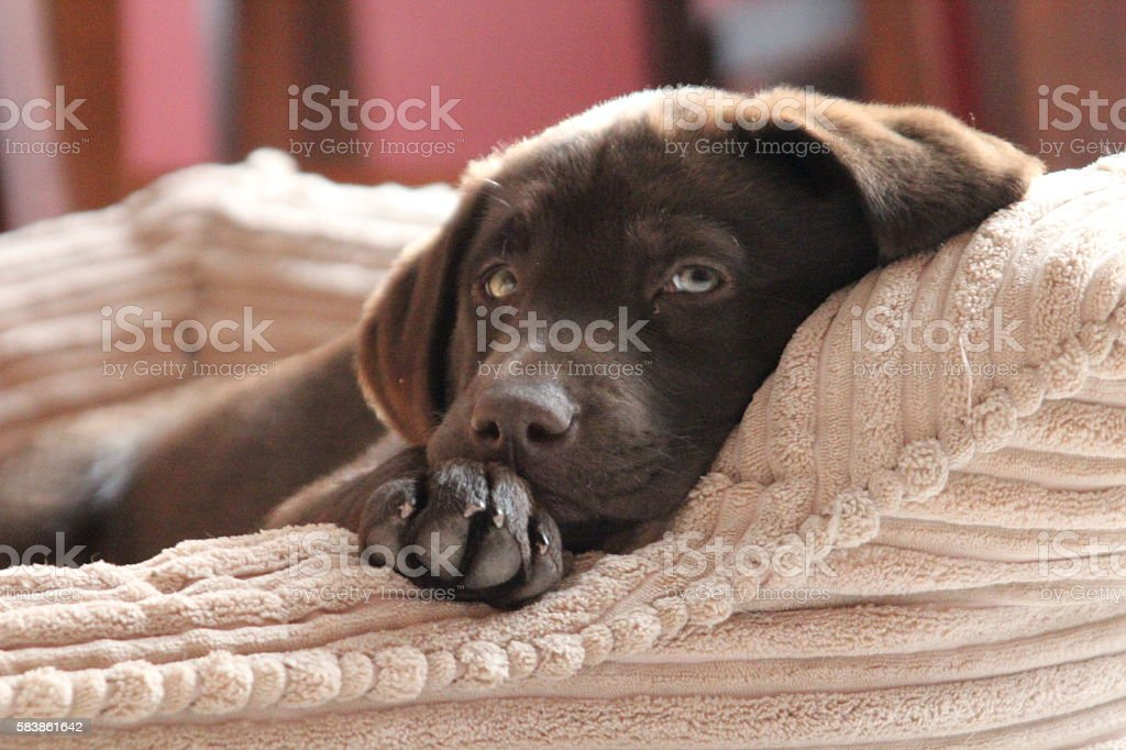 Chocolate Lab Puppy laying on pillow stock photo