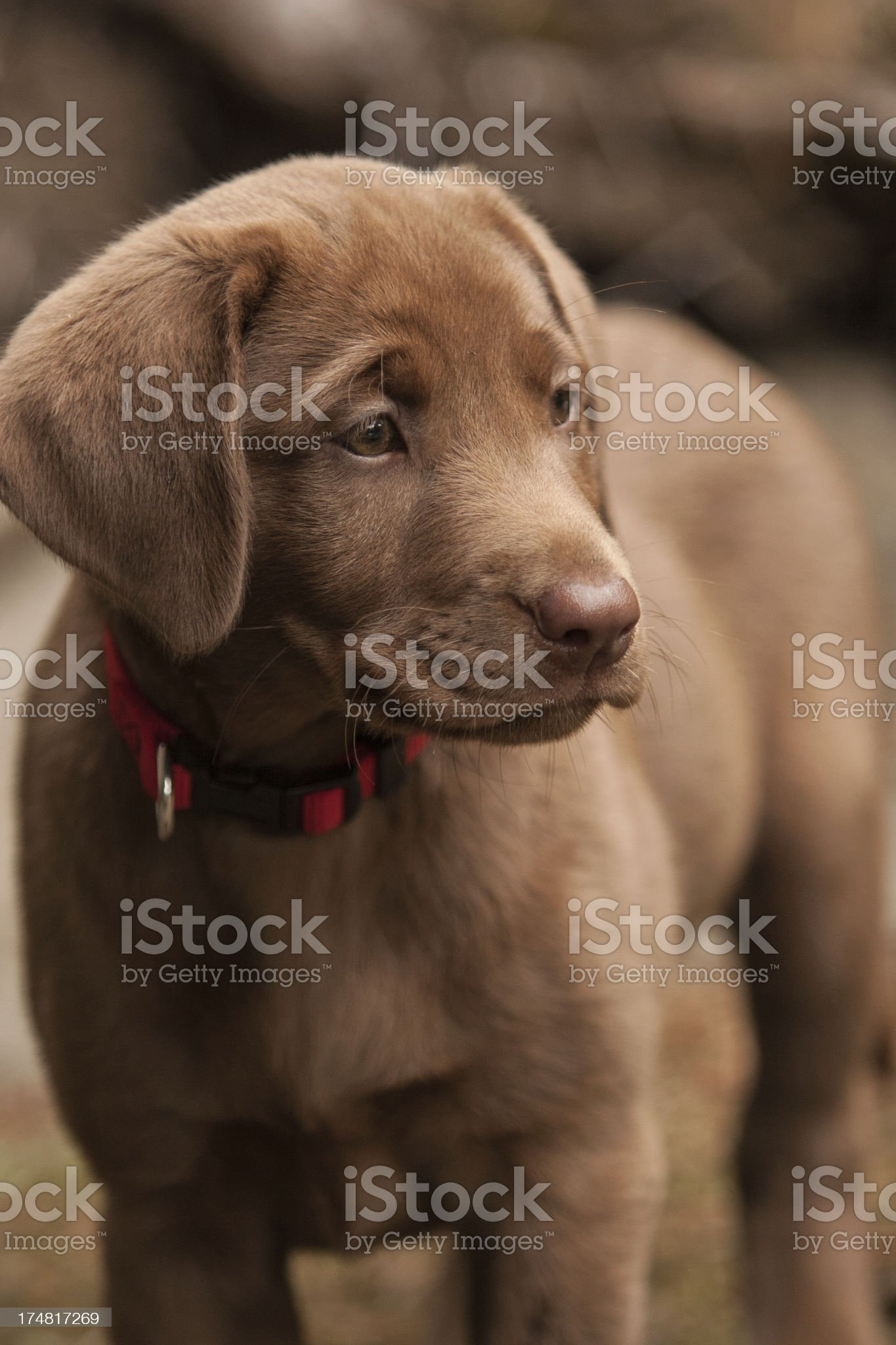 Chocolate Lab Puppy royalty-free stock photo
