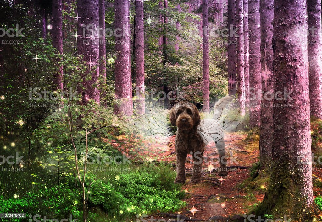 Chocolate Labradoodle as Angel in Forest stock photo