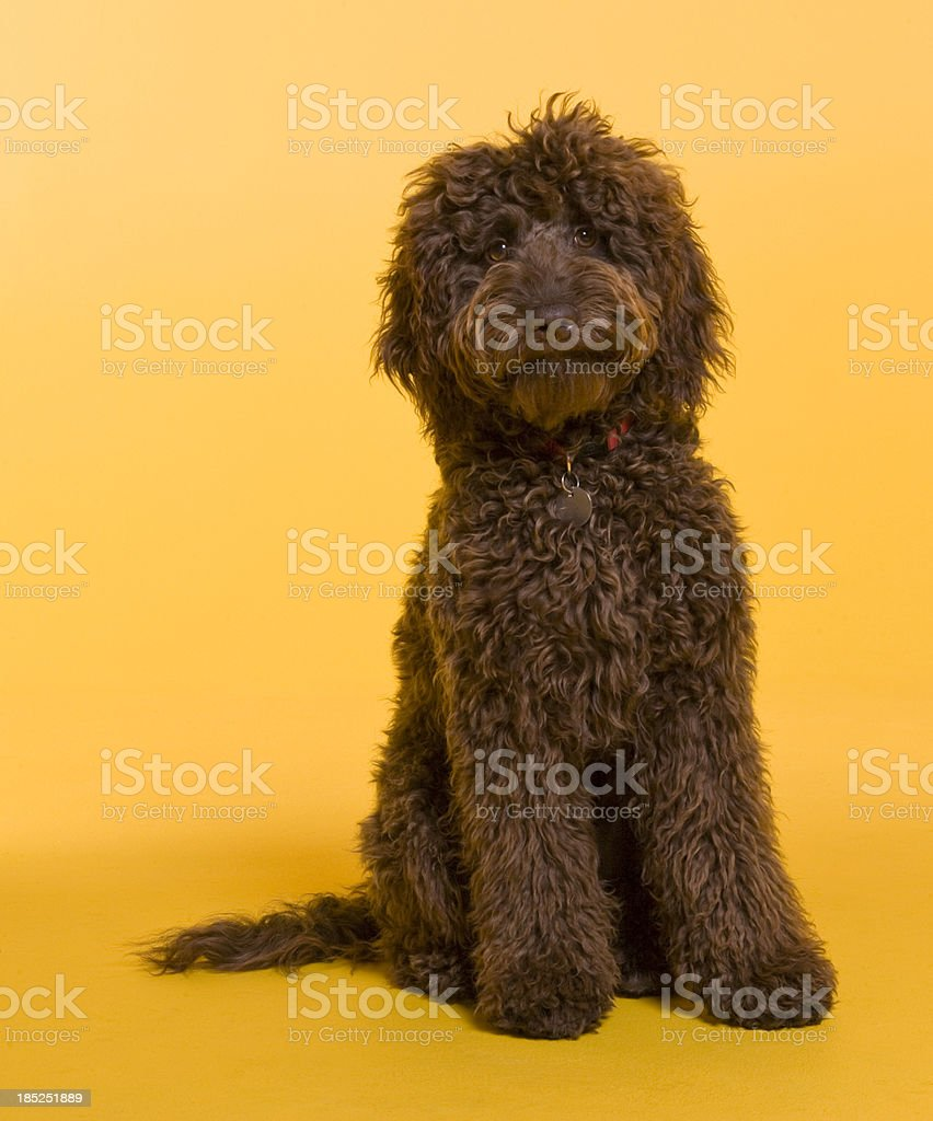 Chocolate Labradoodle photographed against yellow background stock photo