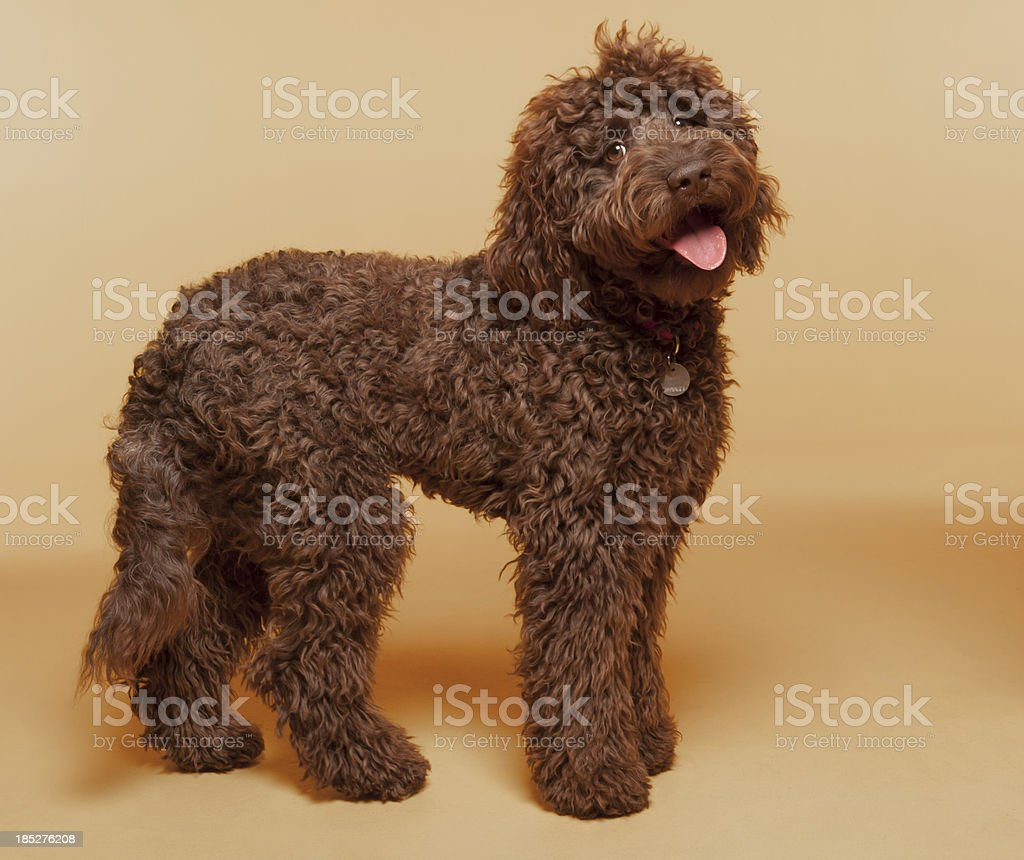 Chocolate Labradoodle photographed standing in studio stock photo
