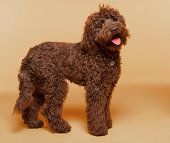 Chocolate Labradoodle photographed standing in studio