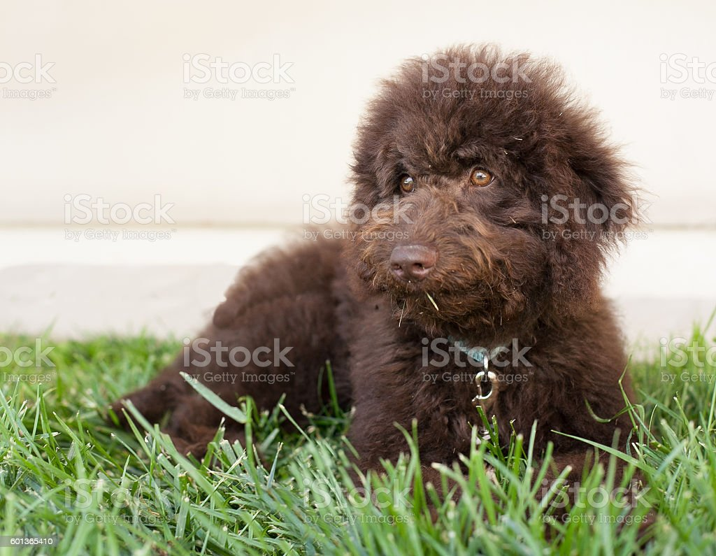 Chocolate labradoodle puppy dog lays on the grass stock photo