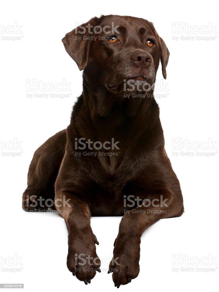 Chocolate Labrador, 4 years old, lying stock photo