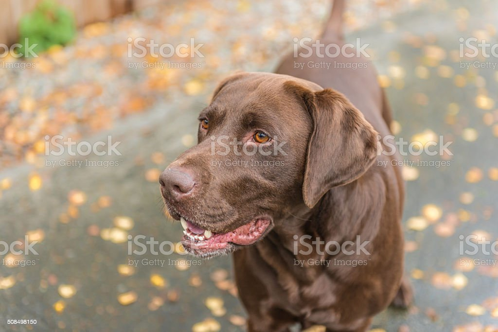Chocolate Labrador Dog in yard stock photo