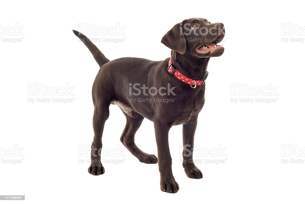 A Chocolate Labrador dog looking up on a white background stock photo
