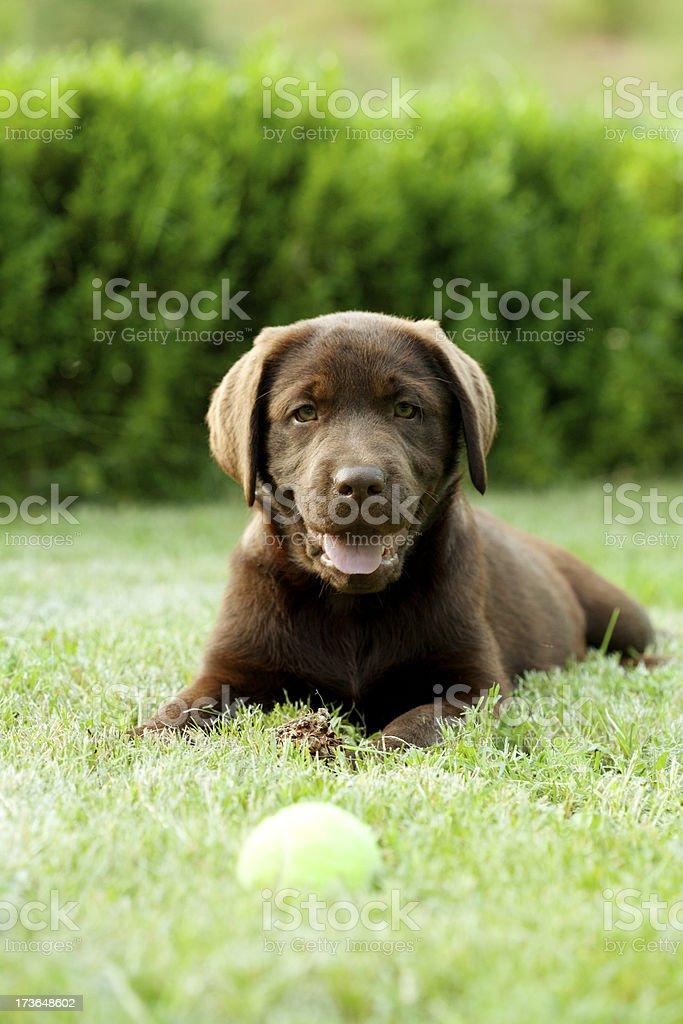 chocolate Labrador dog royalty-free stock photo