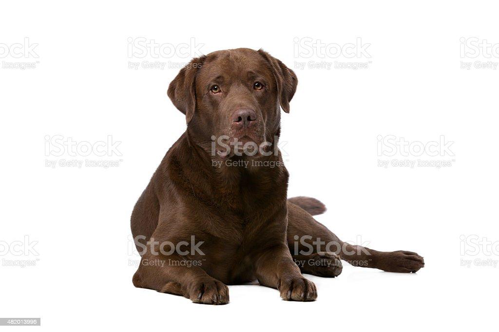 Chocolate Labrador dog stock photo