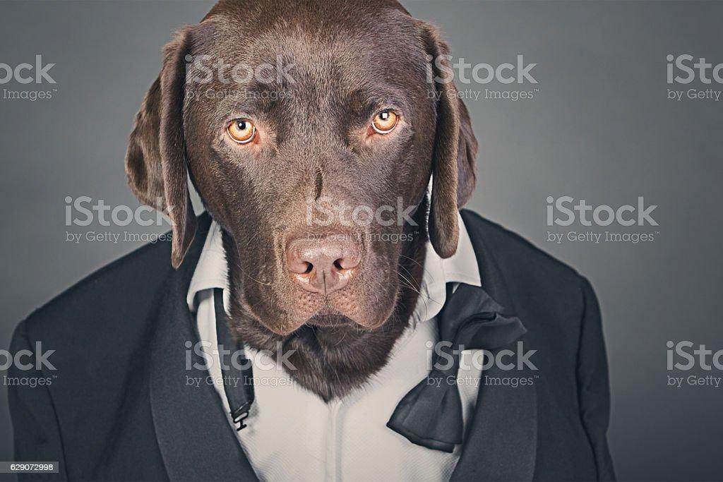 Chocolate Labrador in Tuxedo stock photo