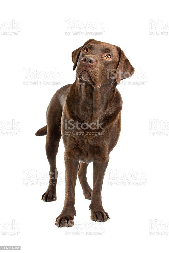 chocolate Labrador stock photo