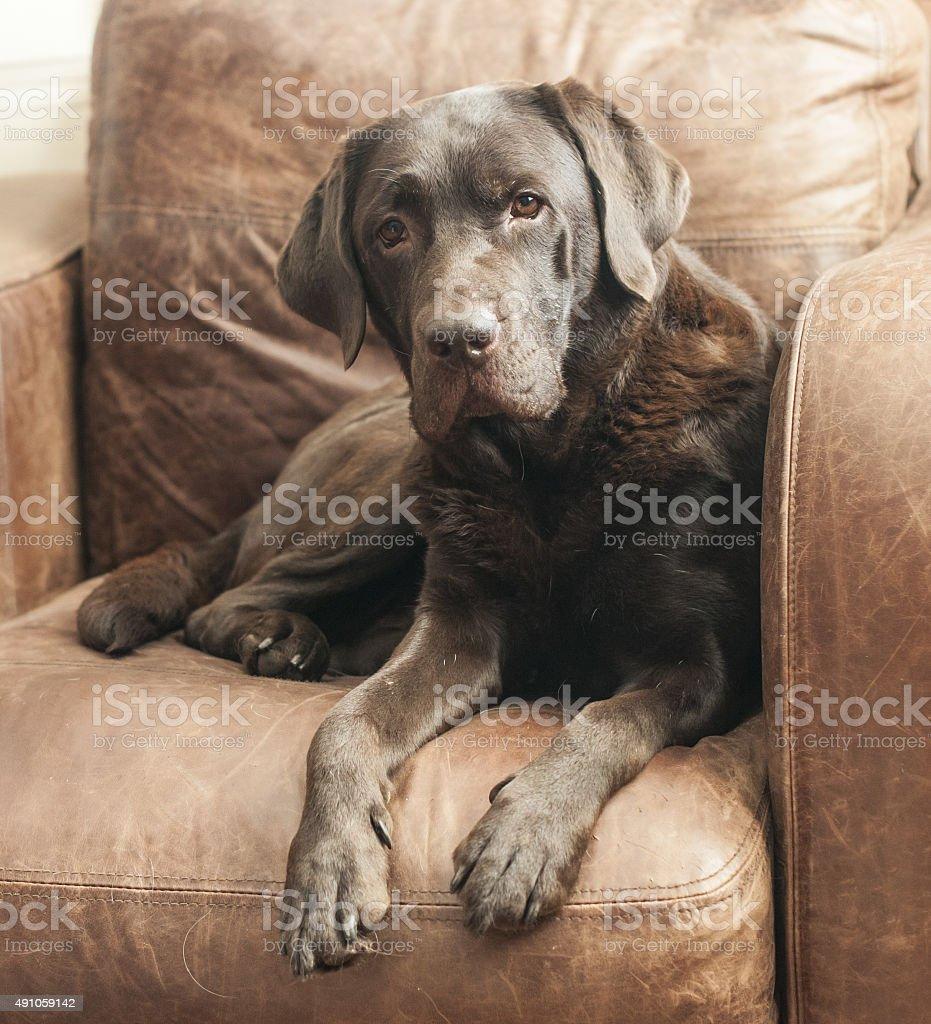 chocolate labrador royalty-free stock photo