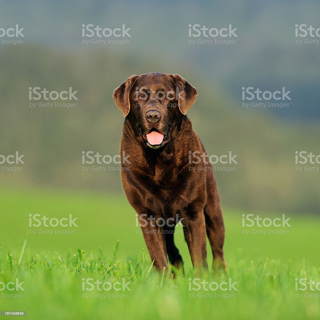 Chocolate Labrador Portrait outside in the meadows royalty-free stock photo